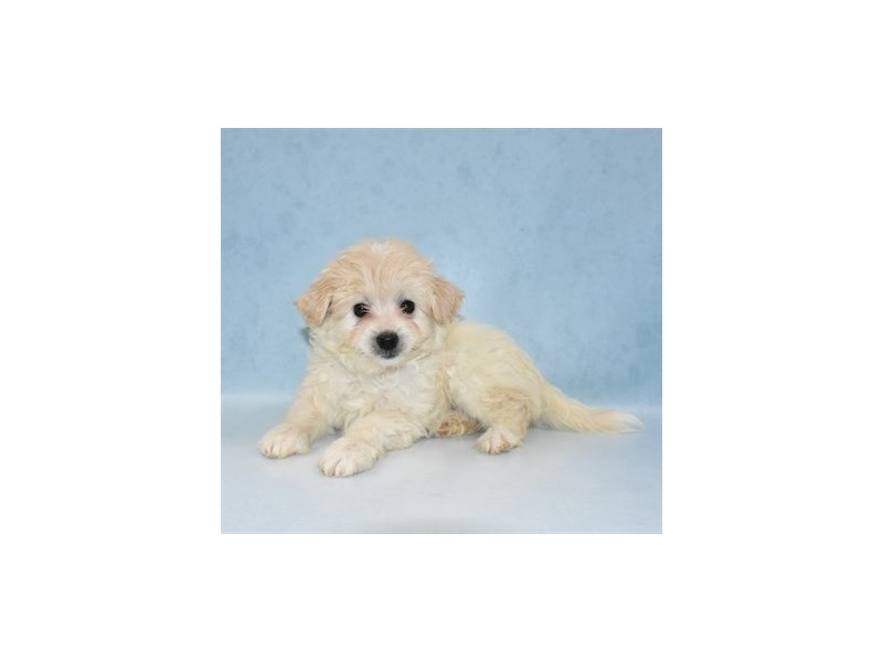 Eski-Poo-Female-White-2721498-Animal Kingdom | Puppies N Love