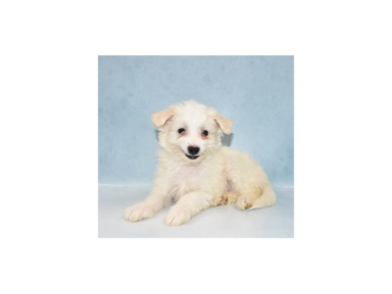 Eski-Poo-Male-White-2721501-Animal Kingdom | Puppies N Love