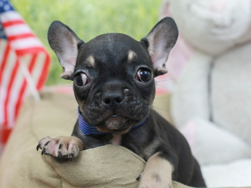 French Bulldog-Male--2758495-Animal Kingdom | Puppies N Love