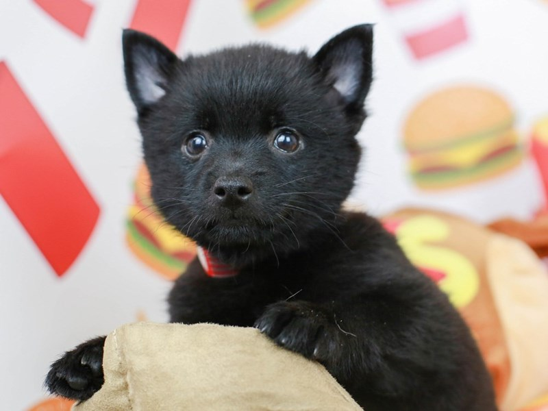 Schipperke-Female--2775544-Animal Kingdom | Puppies N Love