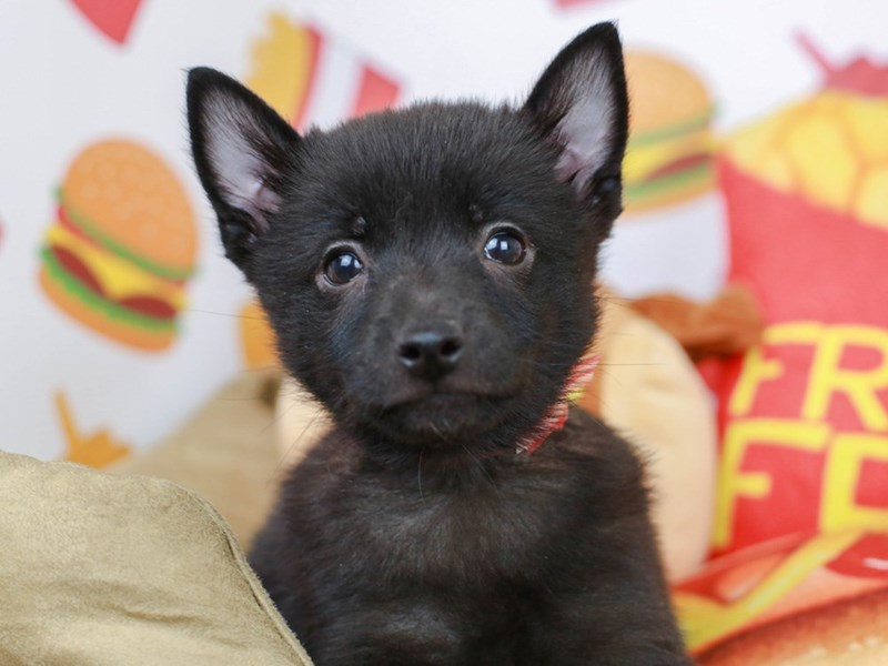 Schipperke-Male--2774281-Animal Kingdom | Puppies N Love