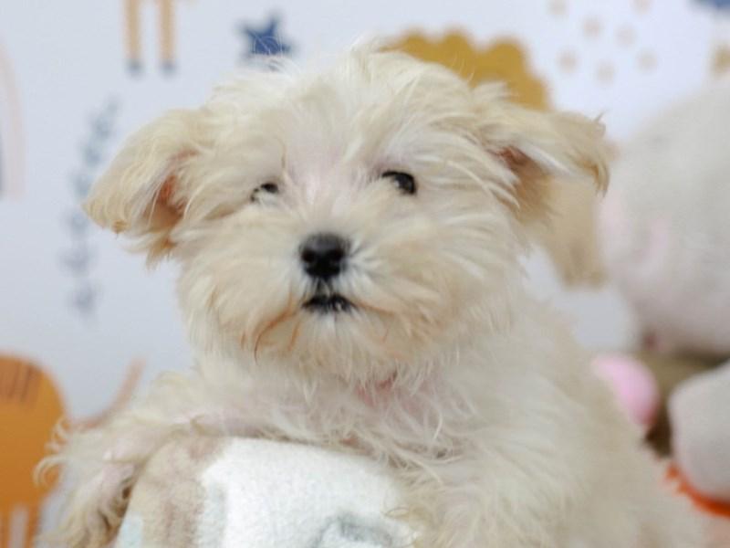 Morkie-Female--2782955-Animal Kingdom | Puppies N Love