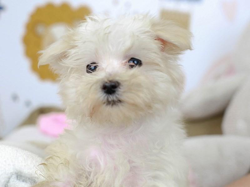 Morkie-Female--2782954-Animal Kingdom | Puppies N Love