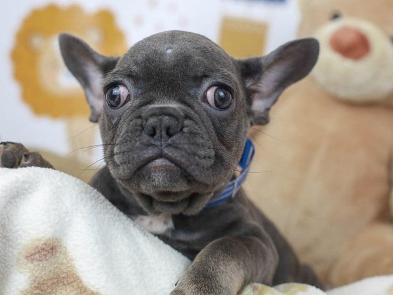 French Bulldog-Female--2781836-Animal Kingdom | Puppies N Love