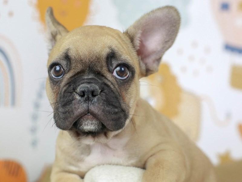 French Bulldog-Female--2783196-Animal Kingdom | Puppies N Love
