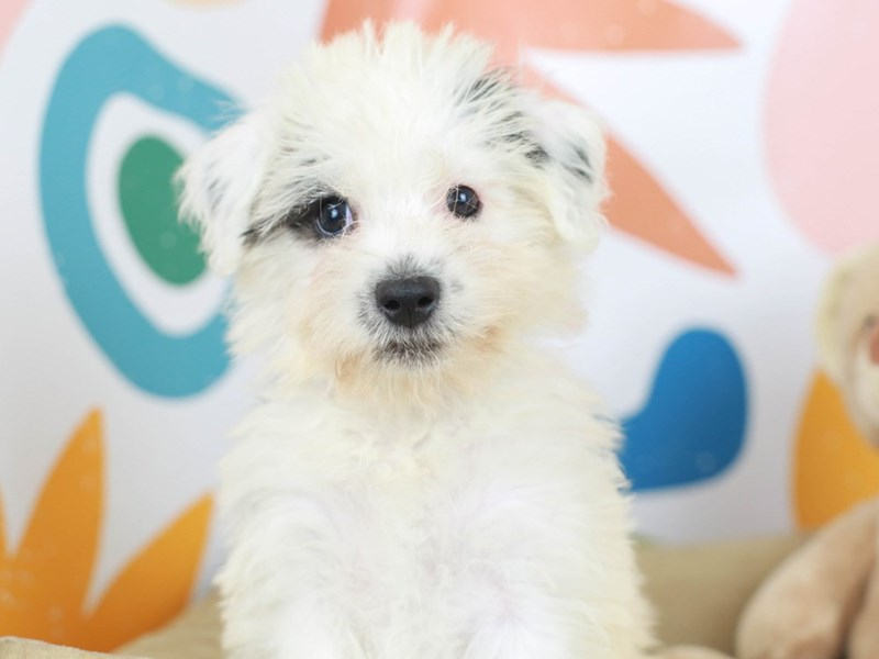 Chonzer-Female--2789467-Animal Kingdom | Puppies N Love
