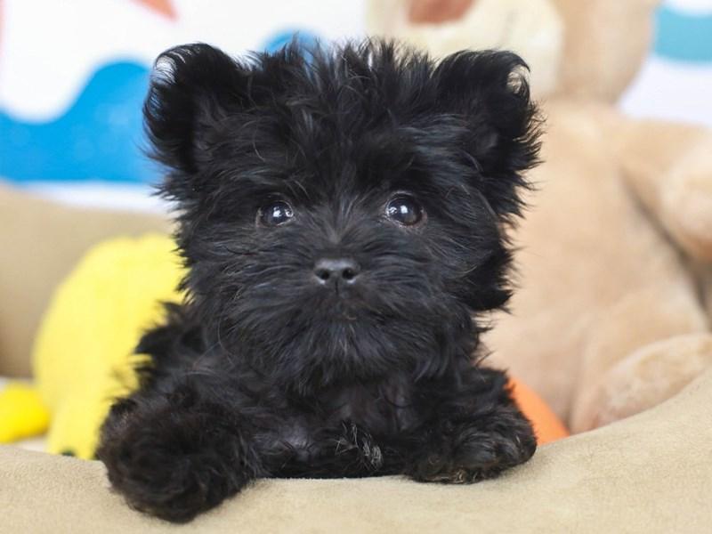 Morkie-Female--2789565-Animal Kingdom | Puppies N Love