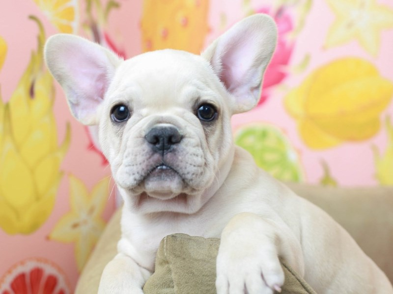 French Bulldog-Male--2796299-Animal Kingdom | Puppies N Love