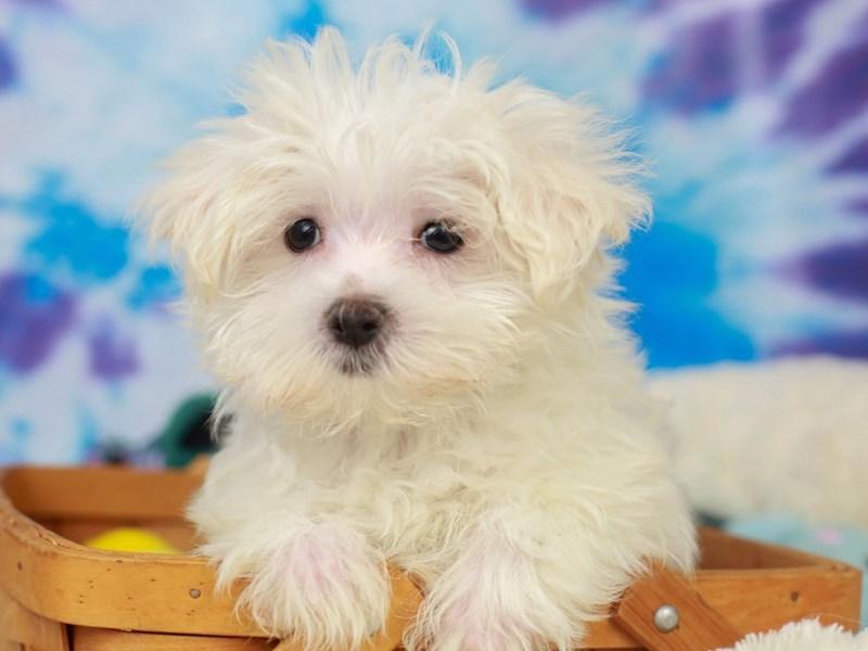Morkie-Male--2803809-Animal Kingdom | Puppies N Love