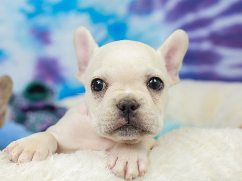 French Bulldog-Male-Cream-2803930-Animal Kingdom | Puppies N Love