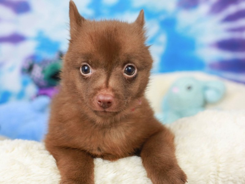 Schipperke-Female--2803610-Animal Kingdom | Puppies N Love