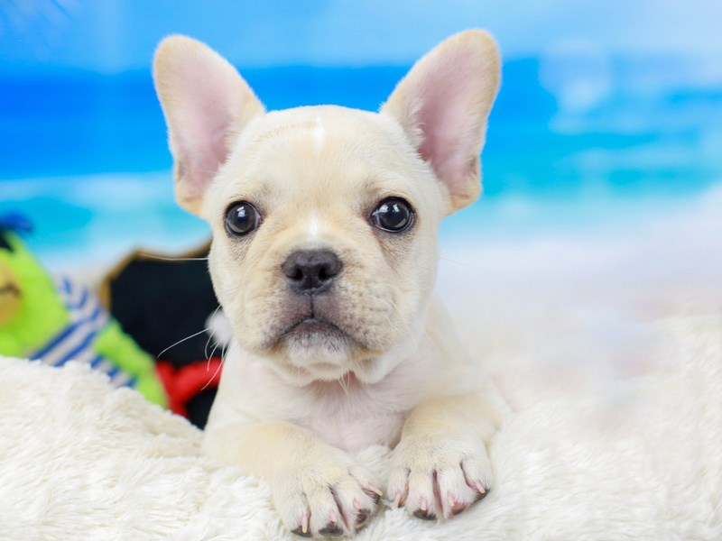French Bulldog-Female-CREAM-2810881-Animal Kingdom | Puppies N Love