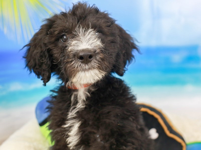 Sheepadoodle-Female--2811093-Animal Kingdom | Puppies N Love