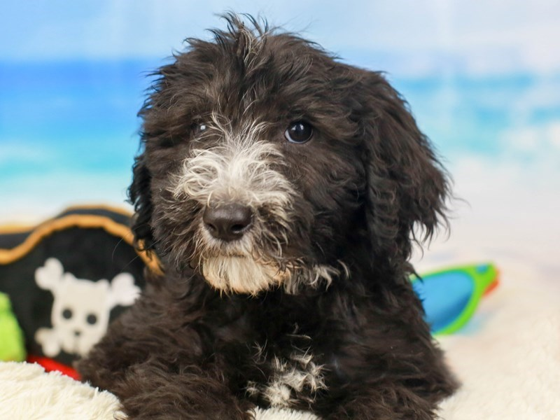 Sheepadoodle-Female--2811094-Animal Kingdom | Puppies N Love