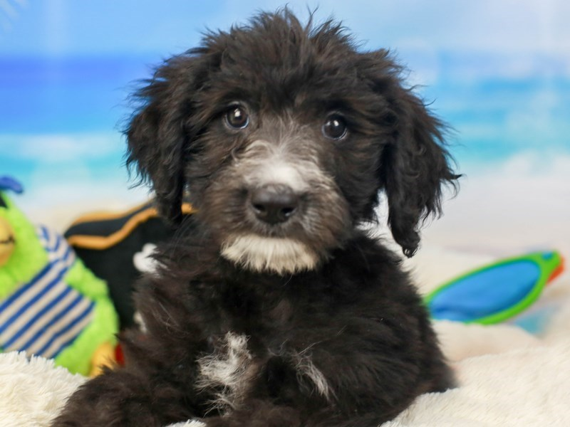 Sheepadoodle-Female--2811090-Animal Kingdom | Puppies N Love