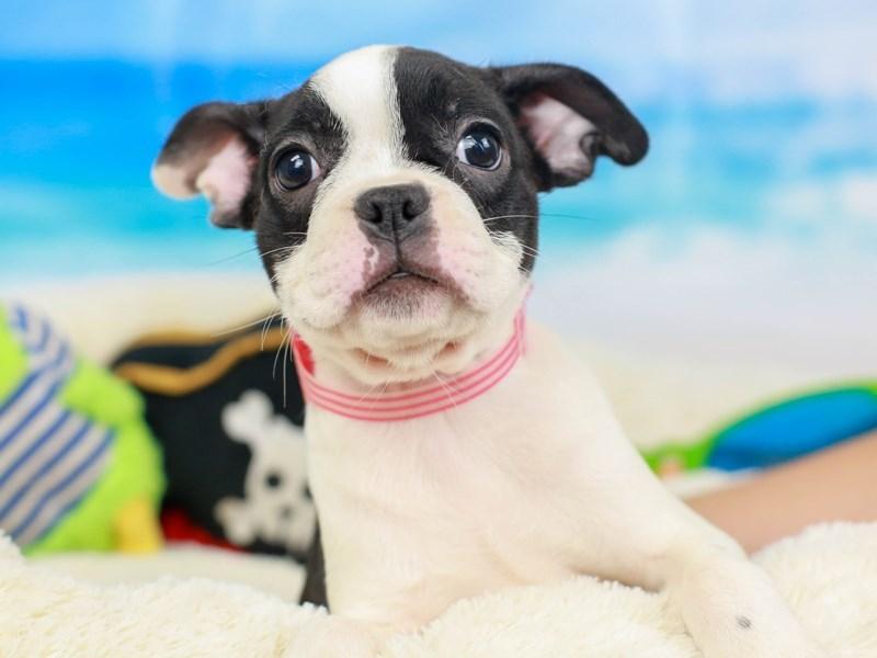 Frenchton-Female--2811394-Animal Kingdom | Puppies N Love