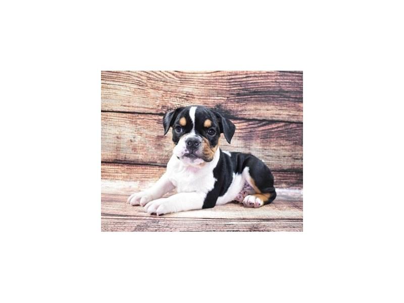 English Bulldog-Female-Black Red and White-2818175-Animal Kingdom | Puppies N Love