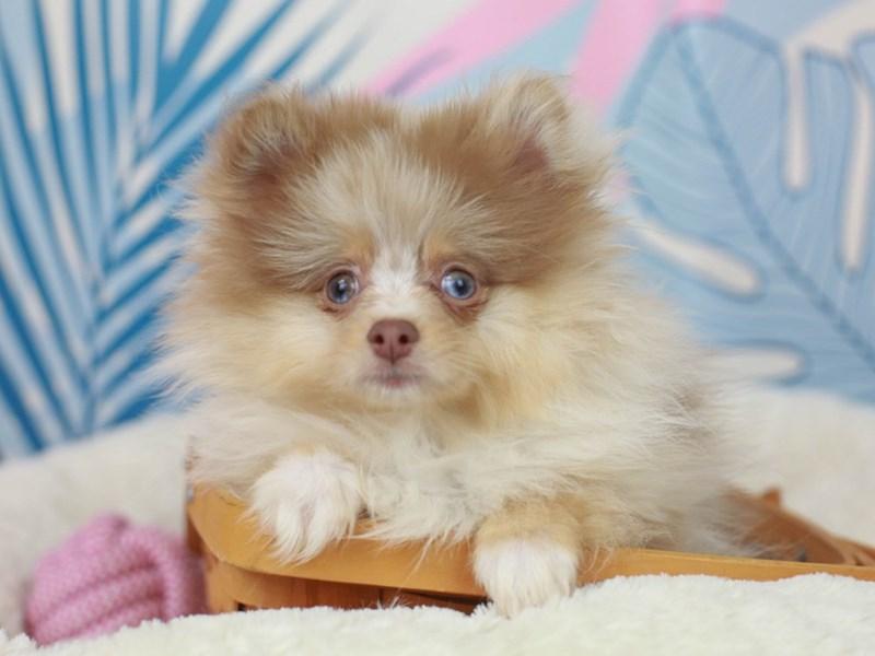 Pomeranian-Male--2819014-Animal Kingdom | Puppies N Love