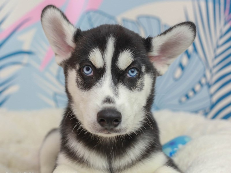 Siberian Husky-Male--2819666-Animal Kingdom | Puppies N Love