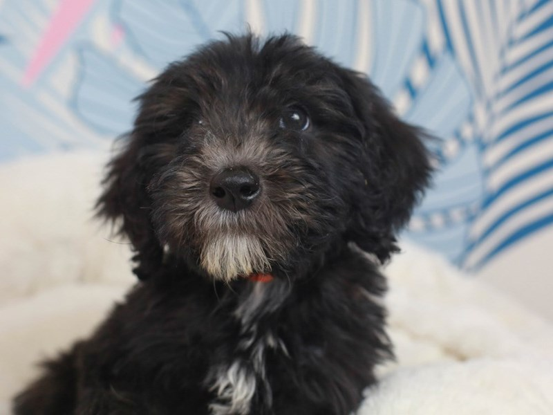 Sheepadoodle-Male--2819250-Animal Kingdom | Puppies N Love