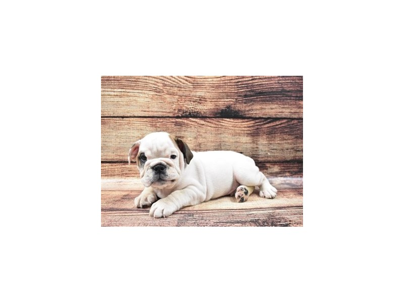English Bulldog-Male-Red and White-2826101-Animal Kingdom | Puppies N Love