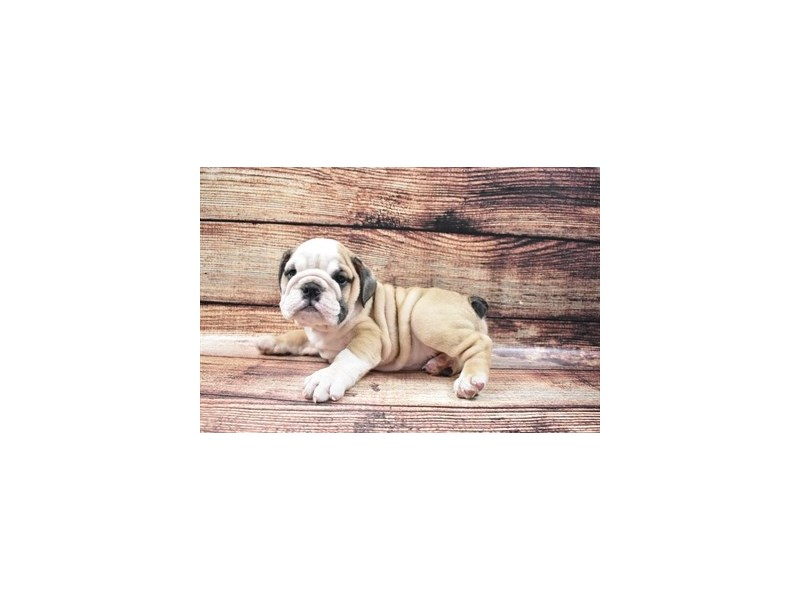 English Bulldog-Male-Red and White-2826102-Animal Kingdom | Puppies N Love