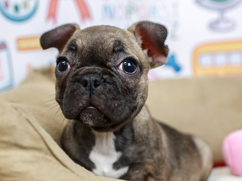 French Bulldog-Female--2827357-Animal Kingdom | Puppies N Love