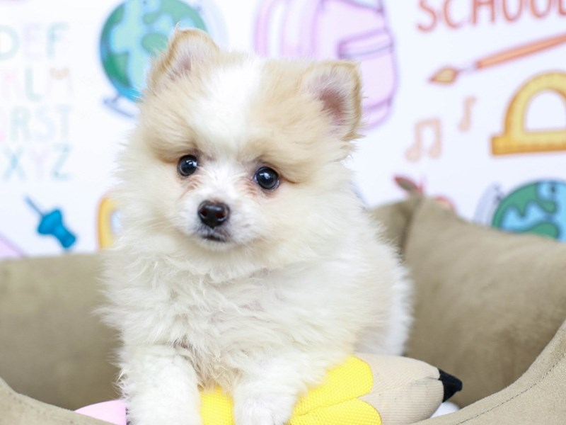 Pomeranian-Male--2826588-Animal Kingdom | Puppies N Love