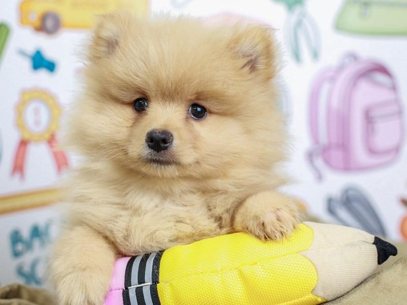 Pomeranian-Male--2826450-Animal Kingdom | Puppies N Love