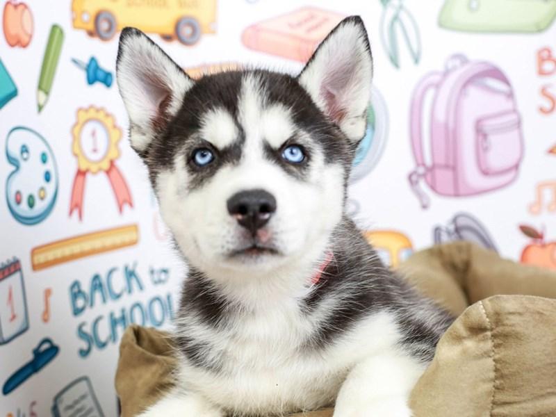 Siberian Husky-Male--2826560-Animal Kingdom | Puppies N Love