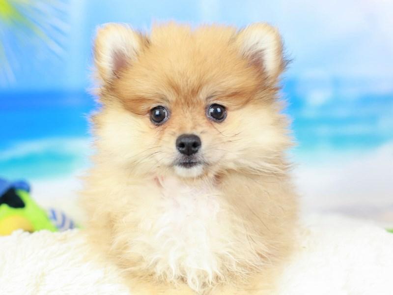 Pomeranian-Female--2826682-Animal Kingdom | Puppies N Love