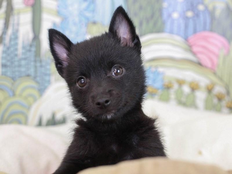 Schipperke-Female--2834612-Animal Kingdom | Puppies N Love