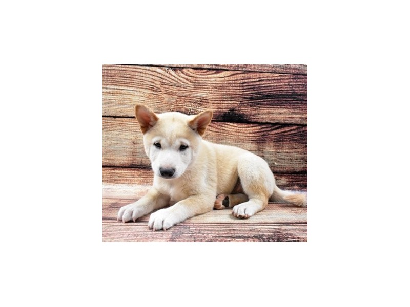 Shiba Inu-Male-Cream-2839225-Animal Kingdom   Puppies N Love