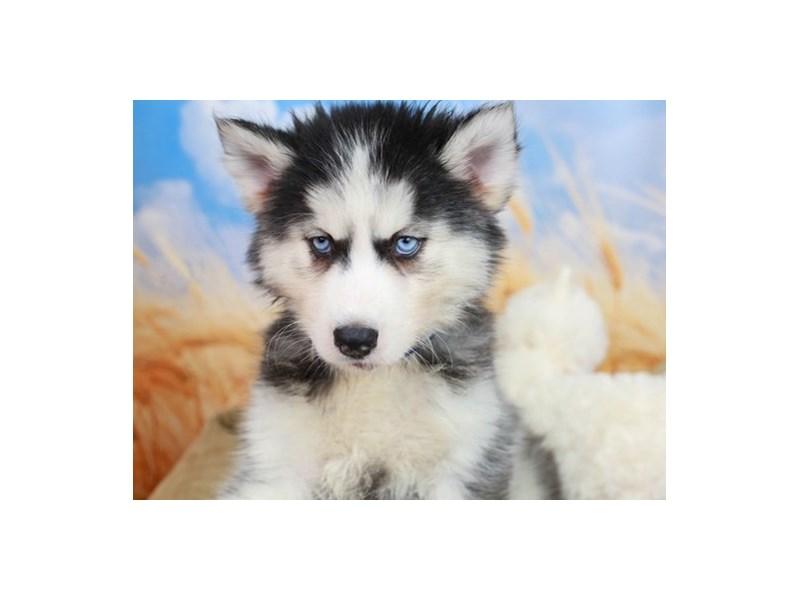 Siberian Husky-Female-Black & White-2838643-Animal Kingdom | Puppies N Love