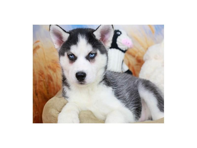 Siberian Husky-Female-Black & White-2838642-Animal Kingdom | Puppies N Love