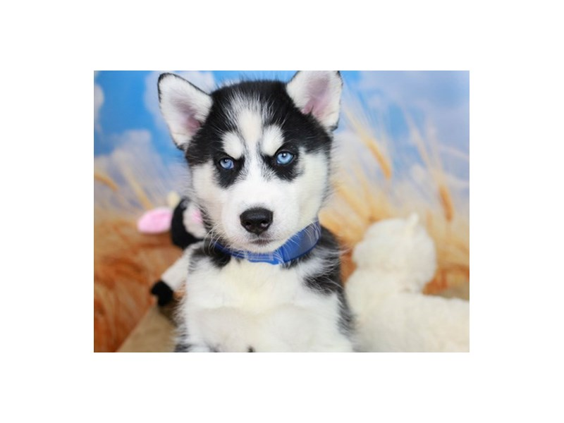 Siberian Husky-Male-Black & White-2838641-Animal Kingdom | Puppies N Love