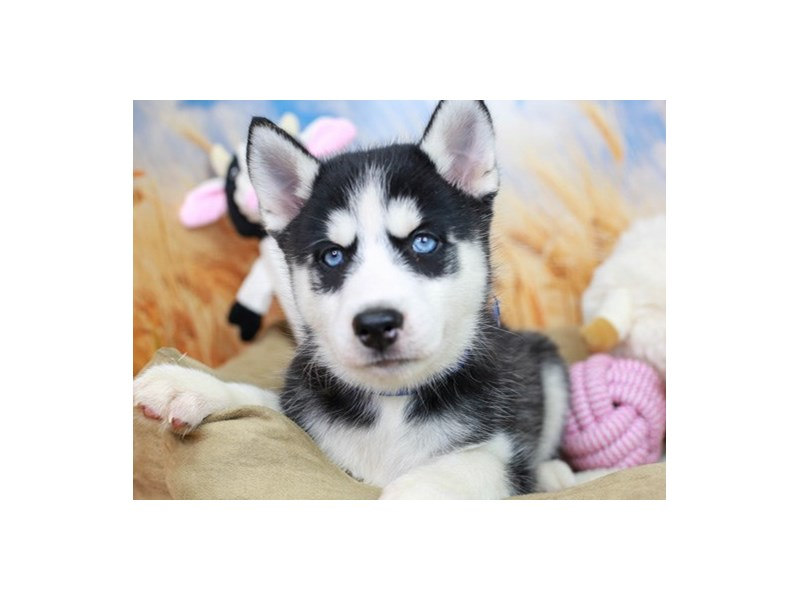 Siberian Husky-Female-Black & White-2838646-Animal Kingdom   Puppies N Love