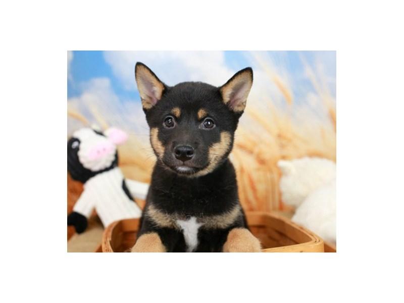 Shiba Inu-Male--2842416-Animal Kingdom   Puppies N Love