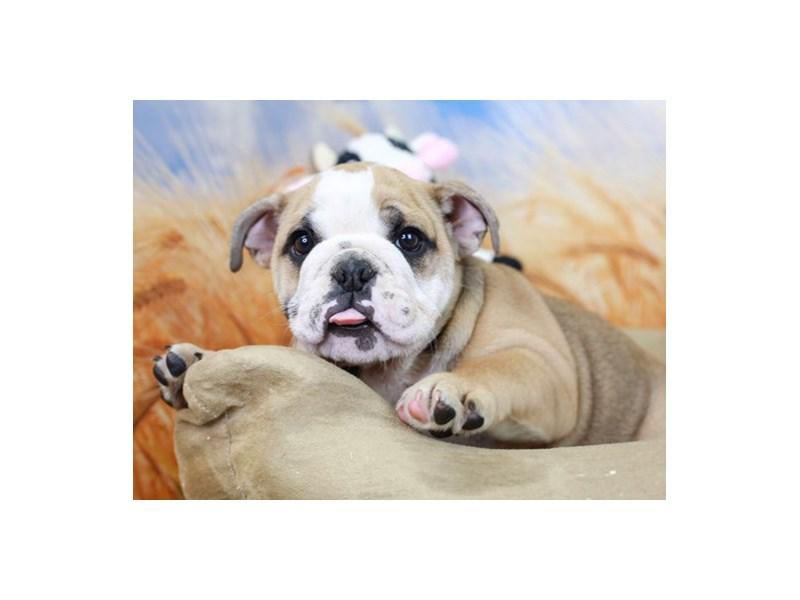 English Bulldog-Female--2842363-Animal Kingdom | Puppies N Love