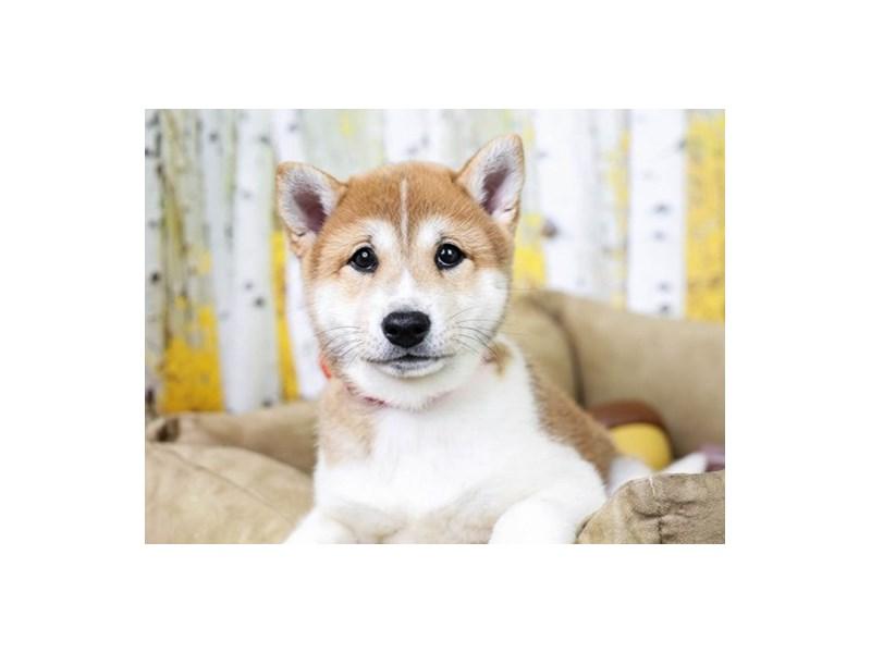 Shiba Inu-Male--2849492-Animal Kingdom   Puppies N Love