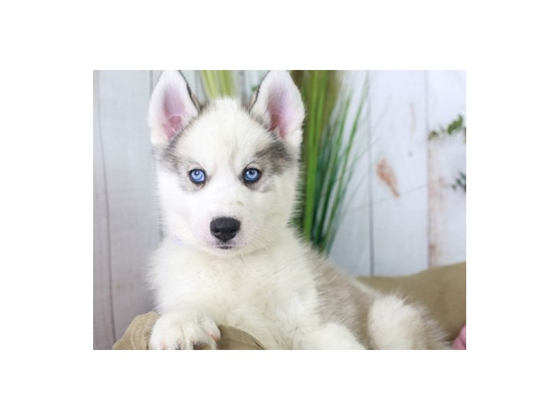 Siberian Husky-Male-Sable-2853640-Animal Kingdom | Puppies N Love