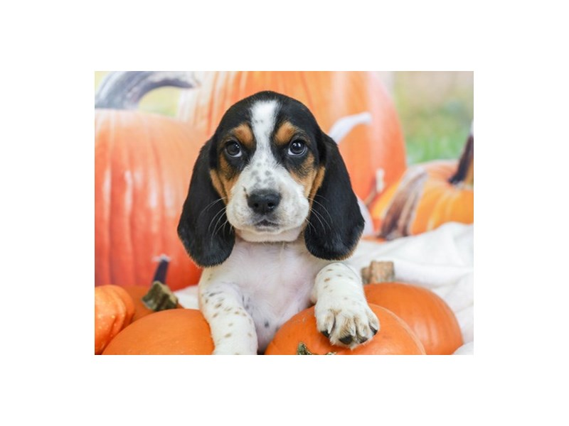 Beagle-Male--2863302-Animal Kingdom | Puppies N Love