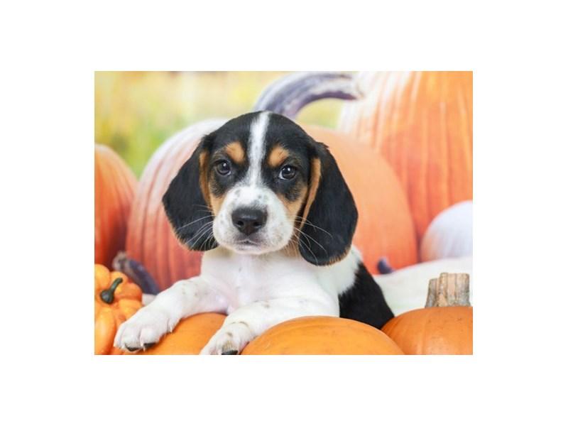 Beagle-Male--2863301-Animal Kingdom | Puppies N Love