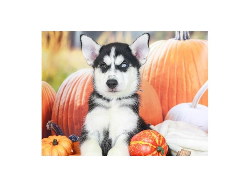 Siberian Husky-Male-Black & White-2861047-Animal Kingdom | Puppies N Love