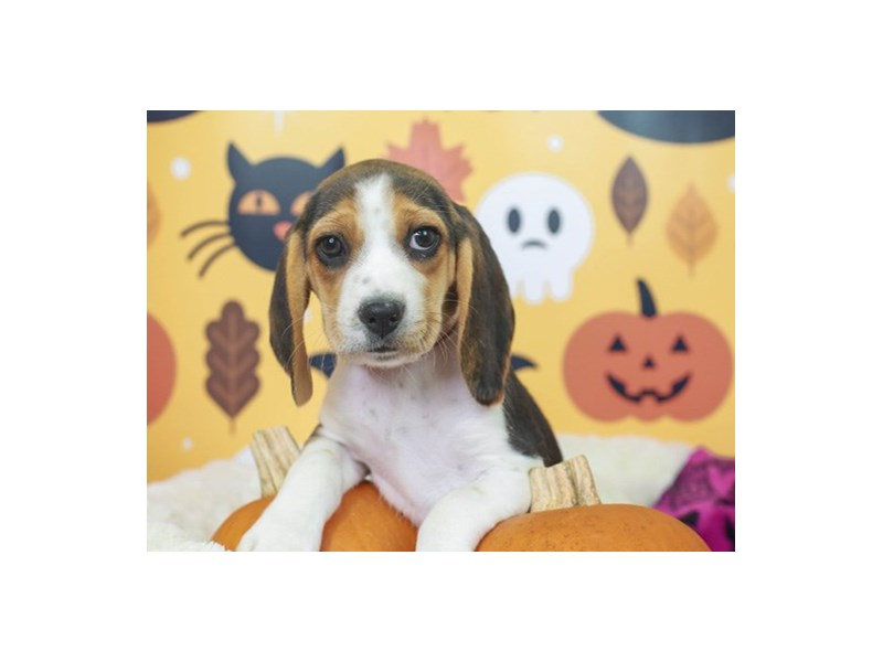 Beagle-Female--2871213-Animal Kingdom | Puppies N Love
