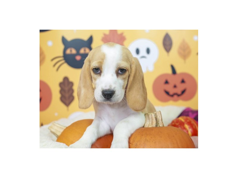 Beagle-Female--2871212-Animal Kingdom | Puppies N Love