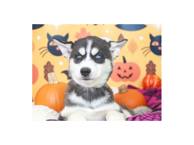 Siberian Husky-Female-Black & White-2861079-Animal Kingdom | Puppies N Love