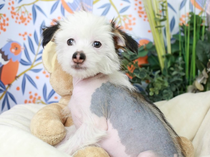 Chinese Crested-Male-Black and Tan-2972984-Animal Kingdom | Puppies N Love