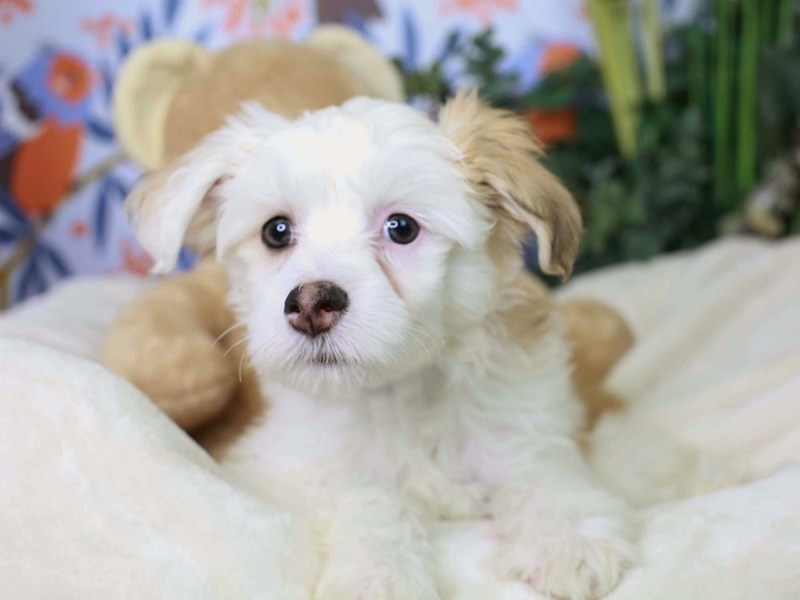 Chinese Crested-Male-White and Chocolate-2972979-Animal Kingdom | Puppies N Love
