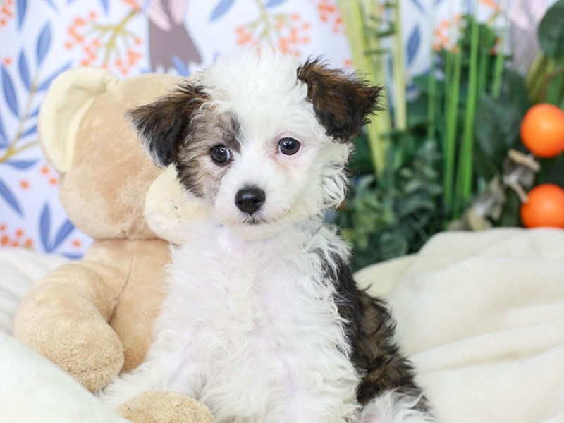 Chinese Crested-Male-White and Chocolate-2972983-Animal Kingdom | Puppies N Love